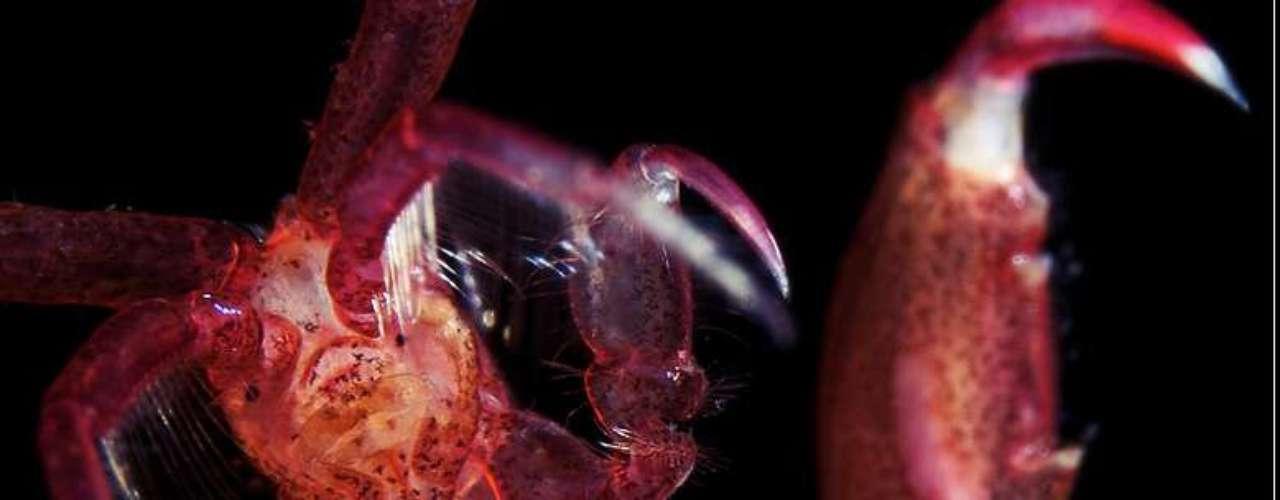 Detalhe de uma Caprella linearis