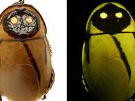 Esta é a 'Lucihormetica luckae', uma espécie de barata descoberta no Equador. Desde a primeira descoberta de uma barata fluorescente em 1999, mais de uma dezena de espécies já foram encontradas. Todas estão em áreas remotas. Esta é uma das novas espécies anunciadas pelo Instituto Internacional para a Exploração de Espécies da Universidade do Arizona, nos Estados Unidos Foto: BBCBrasil.com