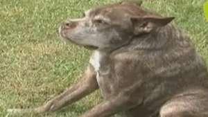 Segundo 'cão mais feio do mundo' vira 'estrela' Video: