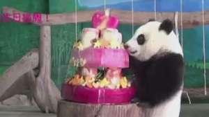 Taiwan: panda nascida em cativeiro ganha bolo de aniversário Video: