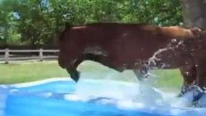 Cavalo entra em piscina de plástico para amenizar do calorão Video: