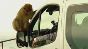 Excesso de macacos leva Gibraltar a exportar animais Video: