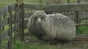 Fazendeiros da Tasmânia acham carneiro com '20kg de lã' Video: