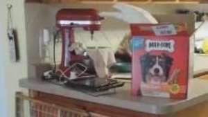 Ave é filmada 'roubando' comida para alimentar cães Video: