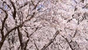 Japão adere ao rosa 'sakura' na florada das cerejeiras