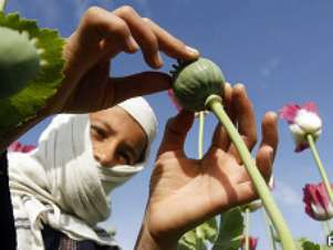 Imagem mostra mulher trabalhando em campo de papoula no Afeganistão Foto: Reuters