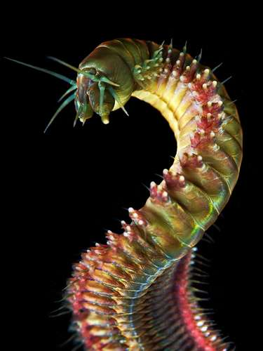 Imagem mostra outro verme, chamado de Cyanea capillata