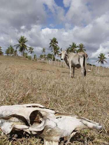 27 de março Vista de um pasto em Conde, litoral norte da Bahia. A falta de chuva na Região Nordeste do Brasil tem devastado a criação de animais. Com açudes, rios e pastagens secos, a criação não resiste e morre de fome e de sede. A estiagem também afeta a produção de leite e contribui para o aumento no preço de carne