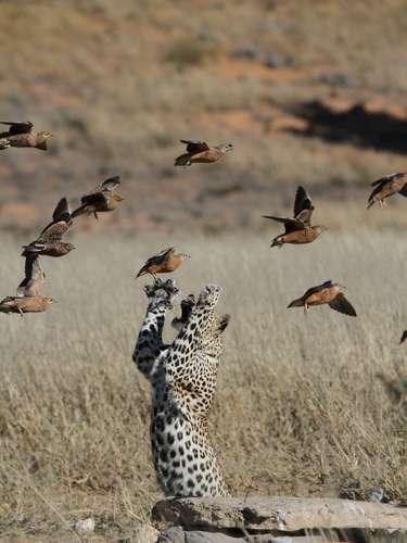 Matt Prophet registrou na fronteira entre Botswana e a África do Sul o momento em que um leopardo mostrou toda sua agilidade