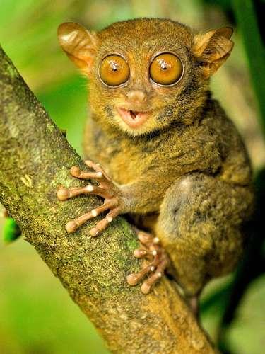 O társio é um dos menores primatas do planeta e pode ser encontrado na Ásia