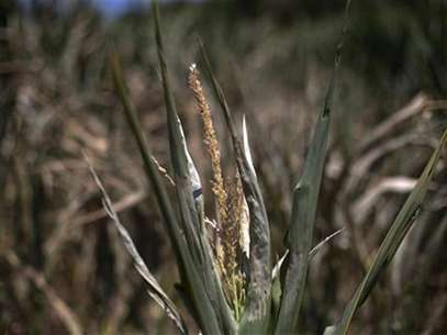 A corn plant, damaged due to lack of water, is photographed in a corn field in Centerville, Iowa July 11, 2012. Foto: Adrees Latif / Reuters In English