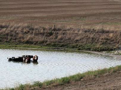Cattle cool off in a pond by a drought-stricken farm in Oakland City, Indiana, July 24, 2012. Foto:  John Sommers II / Reuters In English