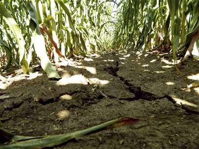 A drought-damaged corn field is pictured near Emery, Iowa July 27, 2012. Foto: Karl Plume / Reuters In English