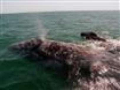 Endangered whales are being seen in droves off the California coast, lured by a bumper harvest of krill. The growing number of whales along the Pacific Coast is drawing tourists, but it's also led to an increase in collisions with ships. (Aug. 21)              Foto: AP in English