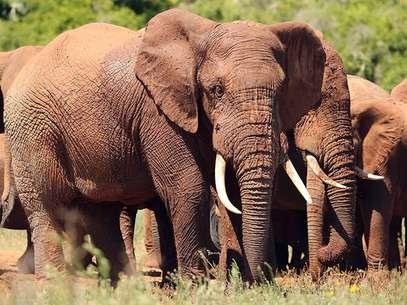 La población de elefantes de selva se encuentra por debajo del 10 por ciento de su potencial y son necesariasmedidas legales contra la caza furtiva y para frenar el comercio internacional de marfil. Foto: Getty Images