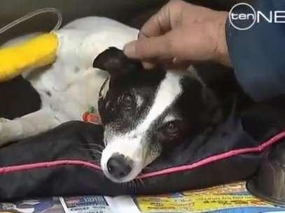 El perro Salty se recupera tras sobrevivir a un atropello Foto: Channel Ten  / Reproducción
