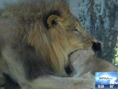 Ataque foi testemunhado e registrado por visitantes do zoológico que acompanhavam a exibição Foto: TV/ WFAA / Reprodução