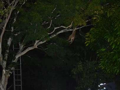 Para retirar o animal da árvore foi lançar dardos com tranquilizante para que a onça caísse em uma rede de proteção estendida sob a árvore Fot Talita Zaparolli / Especial para Terra