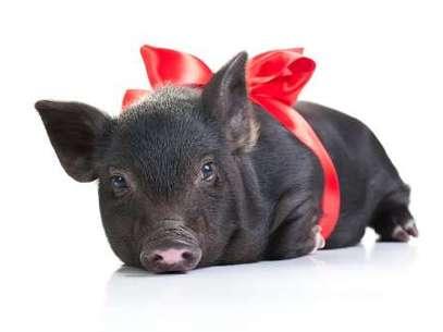 Um porquinho foi encontrado no quarto de um hotel, após ser esquecido pelo dono Foto: Getty Images