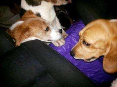Ativistas divulgaram fotos de cães beagles libertados do Instituto Royal, em São Roque (SP), onde animais seriam vítimas de crueldade Foto: Twitter / Reprodução