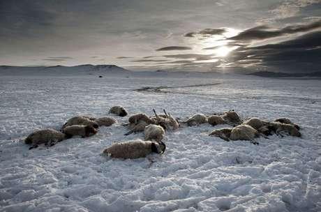 """Provincia Arkhangai, a unos 30 kilómetros de la aldea Ulziit, donde la familia Tsamba trata de sobrevivir con su rebaño. Los Tsamba han perdido 20 ovejas tras dos días fríos de invierno. La familia Tsamba vive al límite, luchando en los duros inviernos junto a su rebaño de ovejas. Las severas condiciones del invierno mongol, conocido como """"dzud"""", han sido responsables de la muerte de la mitad de su ganado. En los últimos tres inviernos, han perdido unas 2.000 cabezas a causa del frío y de la falta de pastos."""