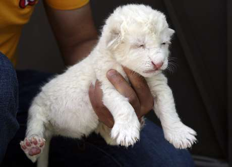 A newly-born white lion cub is presented to the media by a zookeeper in an enclosure at Parque Loro Zoo in Puebla July 19, 2012.