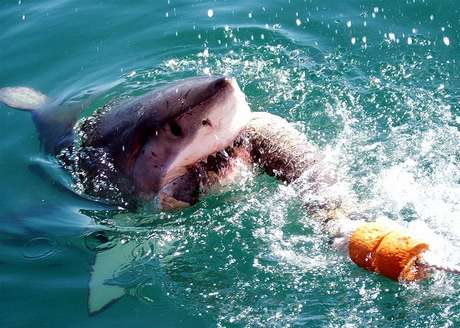 """Gansbaai, na África do Sul, é conhecida como a """"Capital do tubarão branco"""" Foto: 126 Club/Flickr"""