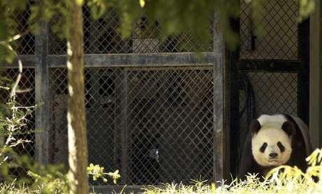 Tian Tian, the father via artificial insemination of the deceased week-old panda cub born to Mei Xiang, walks in his enclosure at the National Zoo in Washington September 24, 2012. The death of the baby panda could be linked to an abnormal liver, the zoo's chief veterinarian said on Monday.