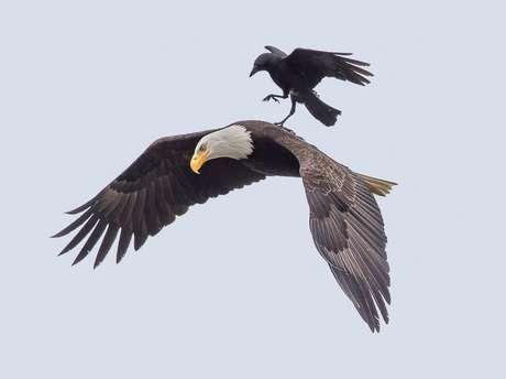 """Folgado! Corvo pega """"carona"""" em águia nos EUA"""