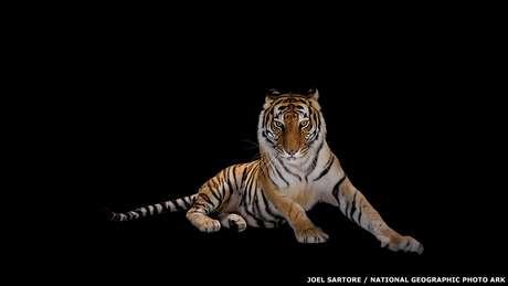 O fotógrafo americano Joel Sartore é o fundador do projeto Photo Ark da National Geographic. A ideia é retratar animais ameaçados antes que eles desapareçam. Um dos exemplos é este tigre-de-bengala, clicado no zoológico americano Alabama Gulf Coast Zoo.