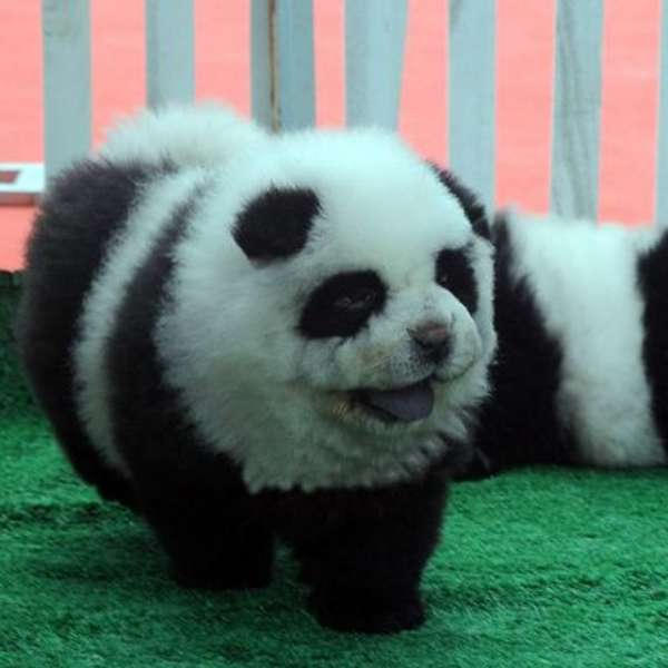 Panda Dogs Are All the Rage in China - YouTube