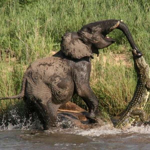 elephant-v-crocodile.jpg