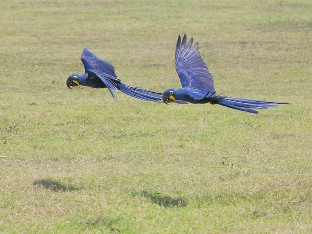 Nos anos 1980 as araras azuis estavam ameaçadas de extinção por conta do tráfico e queimadas Foto: Thiago Henrique/Divulgação