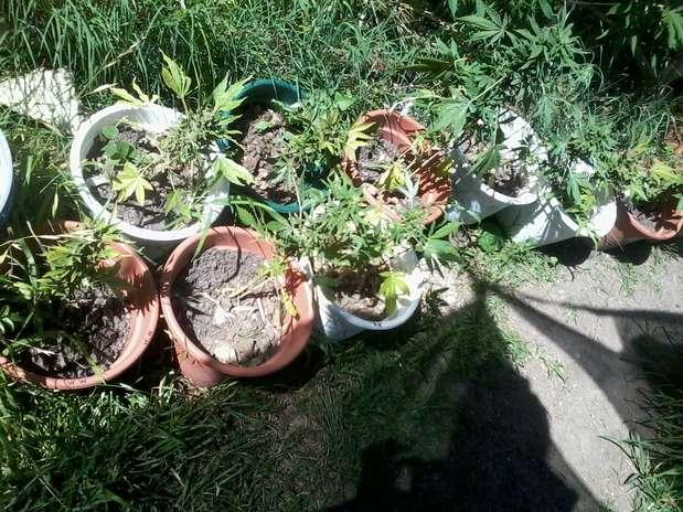 O negócio mais óbvio que tem início com a sanção presidencial de José Pepe Mujica será o da pura produção de cannabis; outro negócio que se ativará imediatamente é o da formação de clubes de cultivo Foto: Denise Mota / Especial para Terra