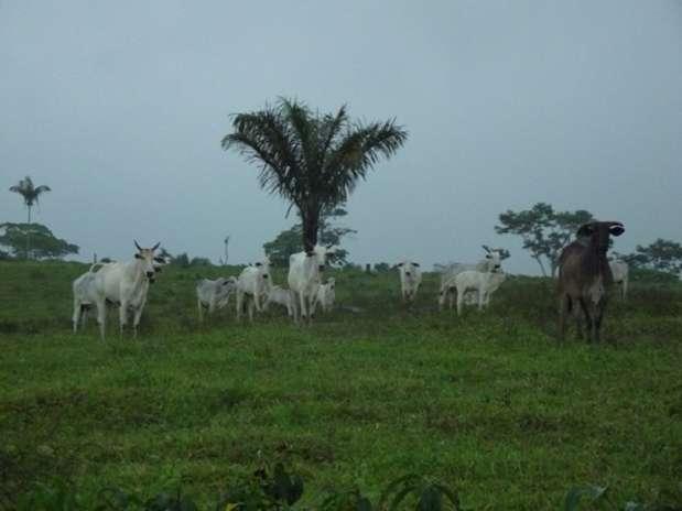 A força da pecuária no Acre: hoje o Estado tem três vezes mais gado do que pessoas Foto: Fábio Pontes / BBCBrasil.com