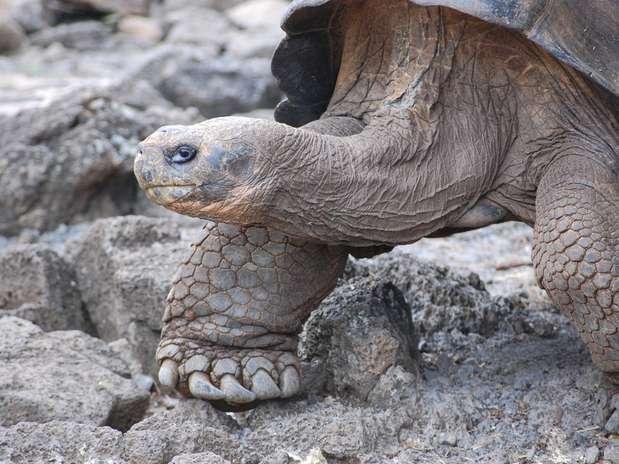 Segundo o professor da faculdade de veterinária da UFMG Leonardo Lara, as maiores tartarugas geralmente vivem mais Foto: macraegi / Wikimedia
