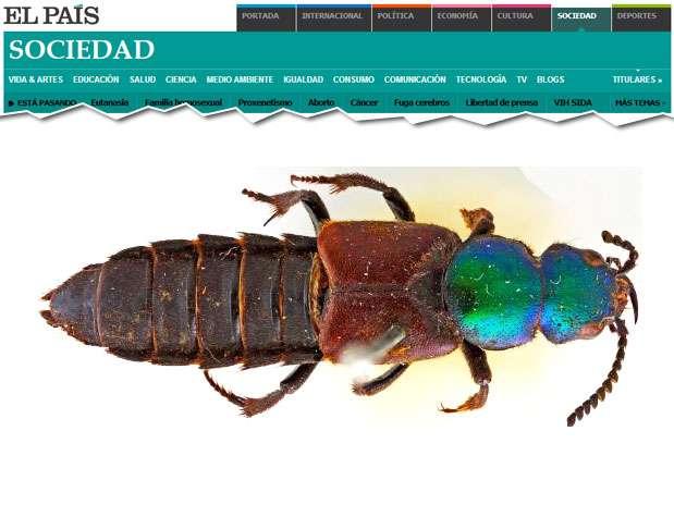 O escaravelho foi identificado pela primeira vez pelo cientista em 1832, em Bahía Blanca, Argentina Fot Reprodução