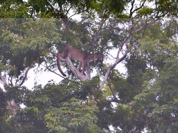 Animal estava em cima de uma árvore a cerca de 10 metros de altura do solo Fot Divulgação