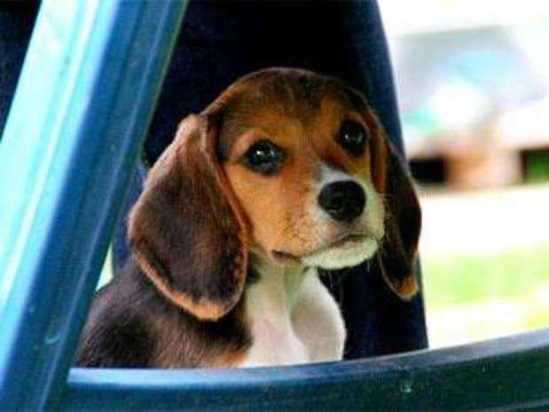 Cão da raça beagle Foto: Eco Desenvolvimento