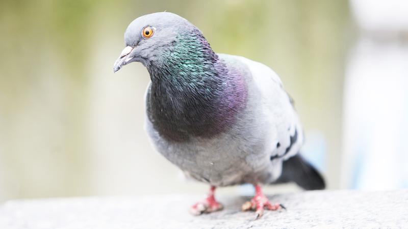 Por que há mais pombos com pés mutilados perto de salões de beleza - Terra