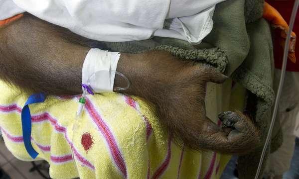 """""""Peanut"""", una orangután hembra de 8 años que padece de cáncer y es una de las atracciones más visitadas del Jungle Island de Miami (Florida) ha sido sometida a quimioterapia, un tratamiento que se realiza por primera vez sobre este tipo de grandes simios. A """"Peanut"""" se le diagnosticó recientemente un linfoma maligno y, tras someterla a un cirugía abdominal, se le practico un tratamiento de quimioterapia."""
