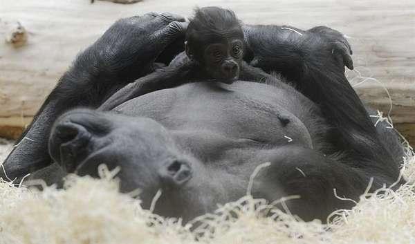 La gorila Kijivu sostiene a su bebé nacido el sábado 22 en el zoológico de Praga, República Checa.