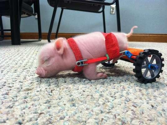 Un cerdito llamado P. Bacon que nació sin movilidad en sus patas traseras volvió a caminar gracias a unas ruedas de juguete, en Florida, Estados Unidos.