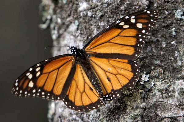 La cantidad de mariposas monarca que hibernan en México disminuyó 59% este año a su menor nivel desde que se tiene registro hace dos décadas, según reportaron científicos. World Wildlife Fund atribuyó este decremento a causas climáticas y prácticas agrícolas.