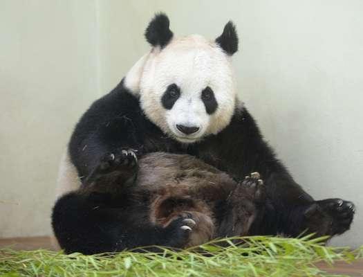 Uma panda gigante do zoológico de Edimburgo está com sintomas de gravidez e pode parir nas próximas semanas, no que seria o primeiro filhote dessa espécie rara a nascer em cativeiro na Grã-Bretanha