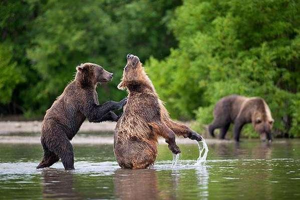 """El portal """"Boredpanda.com"""" publicó una serie de fotografías de osos ejecutando acciones normalmente hechas por humanos. Según la publicación, se trata de """"osos muy expresivos que parecen estar pensando o haciendo algunas de las cosas que hacemos todos los días""""."""