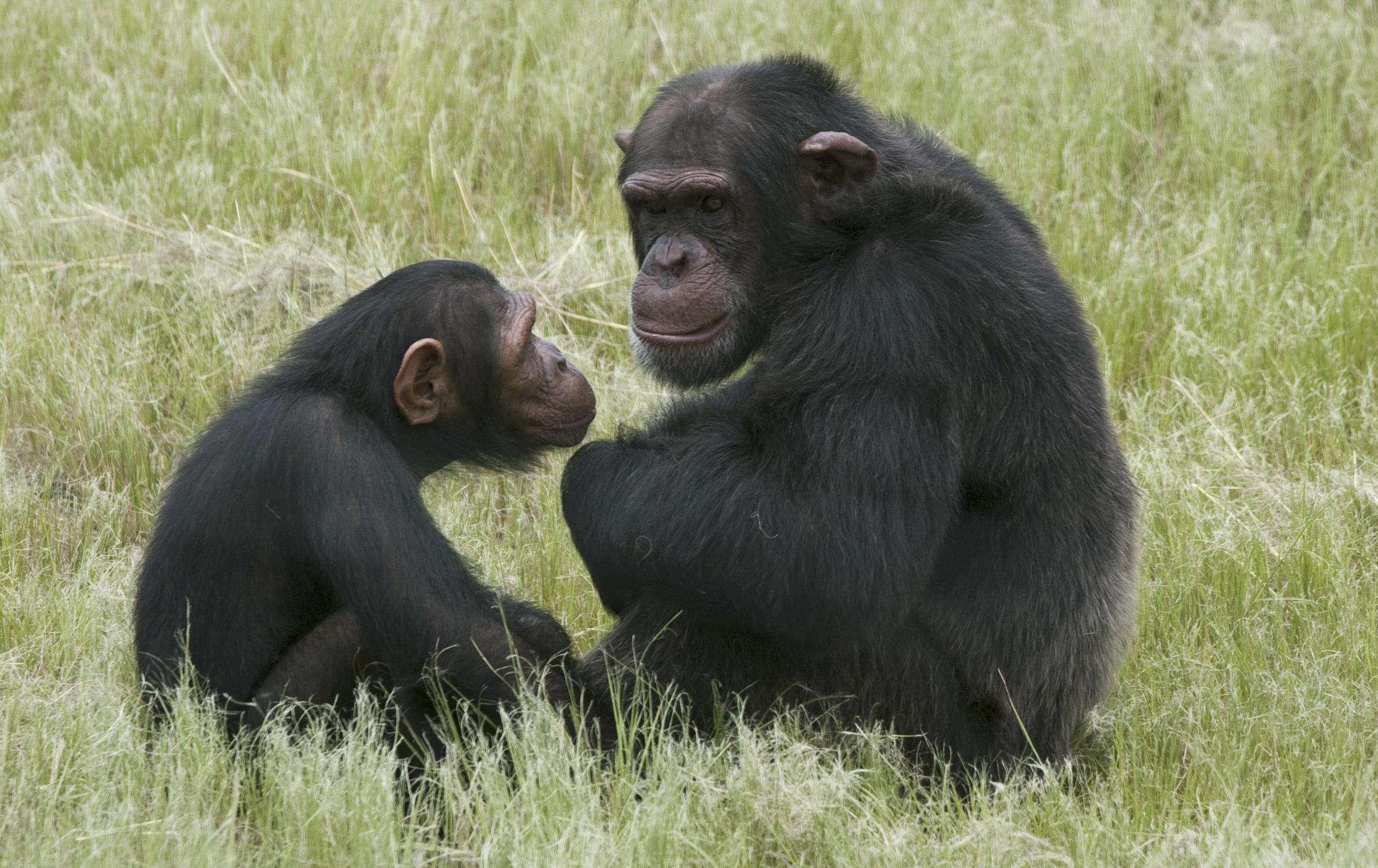 En esta foto de archivo del 1 de febrero de 2011 se observa a un par de chimpancés sentados en el centro de rehabilitación Chimpanzee Eden, cerca de Nelspruit, Sudáfrica. Suena como una broma, pero hay pruebas de que chimpancés y otros grandes simios también sufren crisis de la mediana edad, según un estudio publicado el lunes 19 de noviembre de 2012 en una revista científica que puede arrojar luz sobre la vida emocional de los seres humanos. Foto: Erin Conway-Smith, Archivo/AP