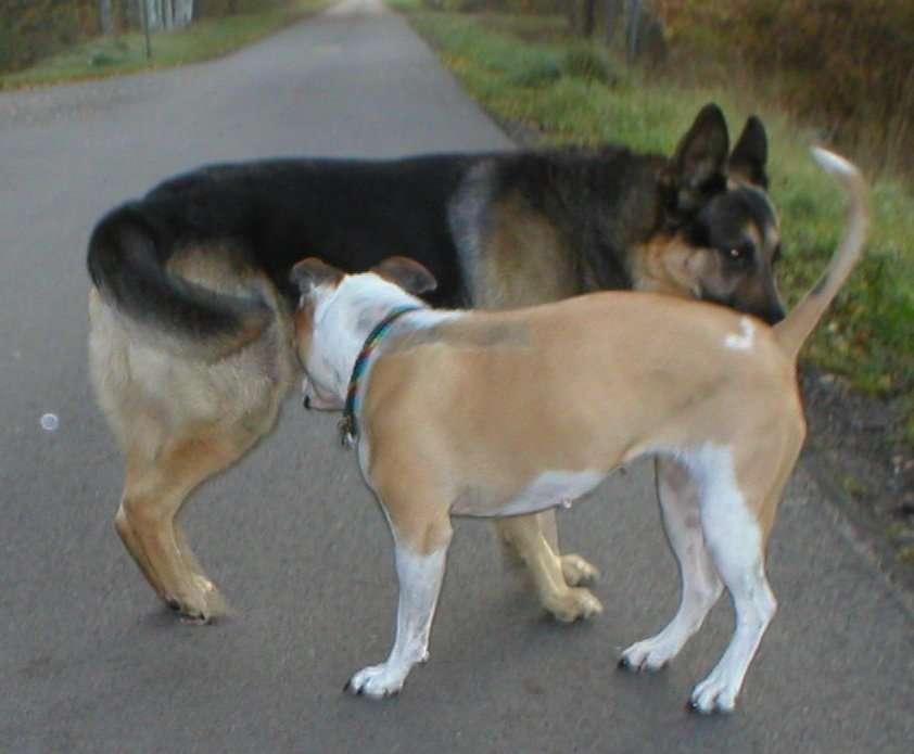 Por que cães cheiram o rabo uns dos outros?