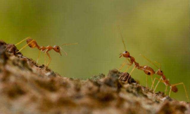 Un tipo de hormiga venenosa Foto: Reproducción