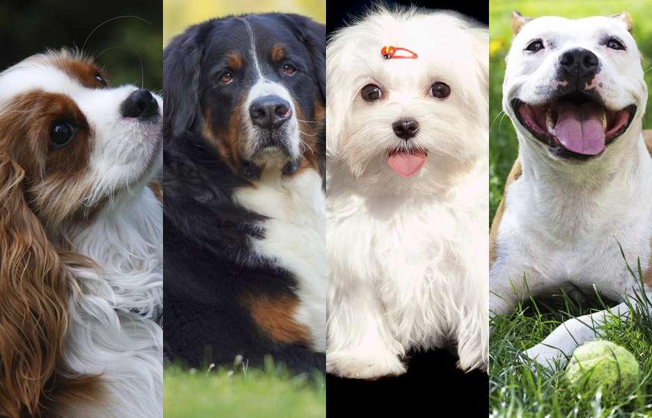 Saiba como escolher o porte ideal do seu cãozinho